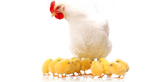 Ekotaa Poultry Farm
